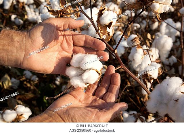 Agriculture - A farmers (growers) hand holds an open mature high-yield cotton boll at harvest stage as he inspects his crop / near England, Arkansas, USA