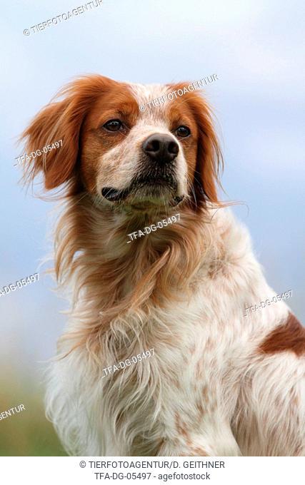 Brittany Spaniel Portrait