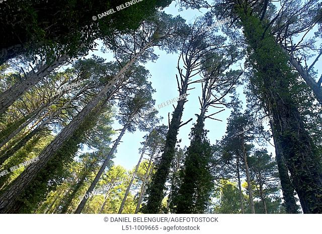 Pine forest on Barranco de la Pegunta, Peñagolosa Natural park, Castellón, Spain