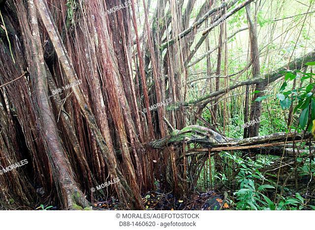 Banyan or Banian (Ficus benghalensis, fam. Moraceae), tropical forest, Hamakua coast, Big Island, Hawaii, USA