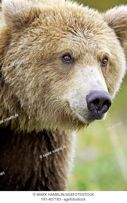 Grizzly Bear (Ursus horribilis) portrait of female. Katmai National Park, Alaska, USA