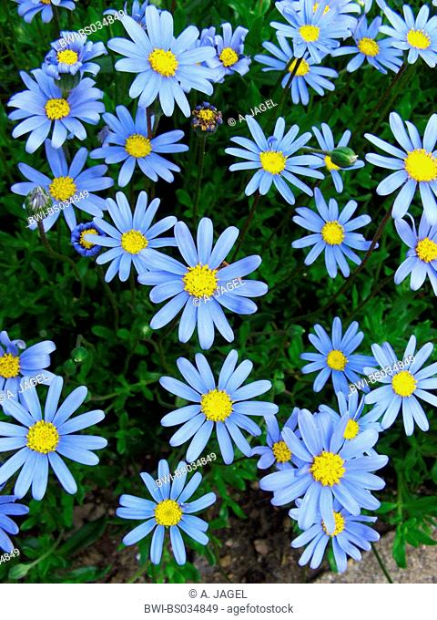 Blue Marguerite, Kingfisher Daisy (Felicia amelloides), blooming