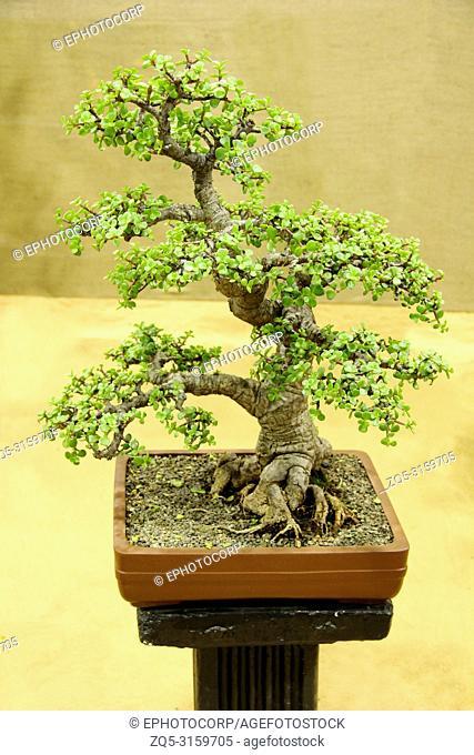 Bonsai tree, Jade, Portulacaria Afra, Bonsai tree exhibition, Pune