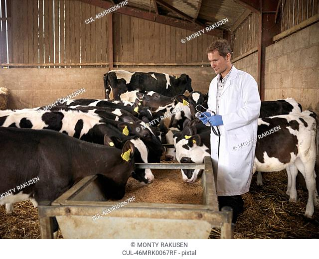 Veterinarian checking cows in barn