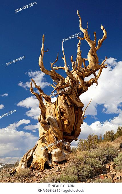 A twisted very old Bristlecone Pine Pinus longaeva, on sage brush covered slopes of dolomite limestone, in the Ancient Bristlecone Pine Forest Park
