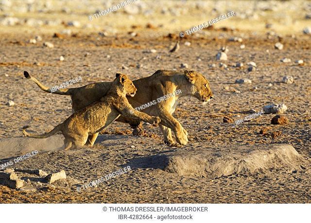 Lion (Panthera leo), playful female with cub, Etosha National Park, Namibia
