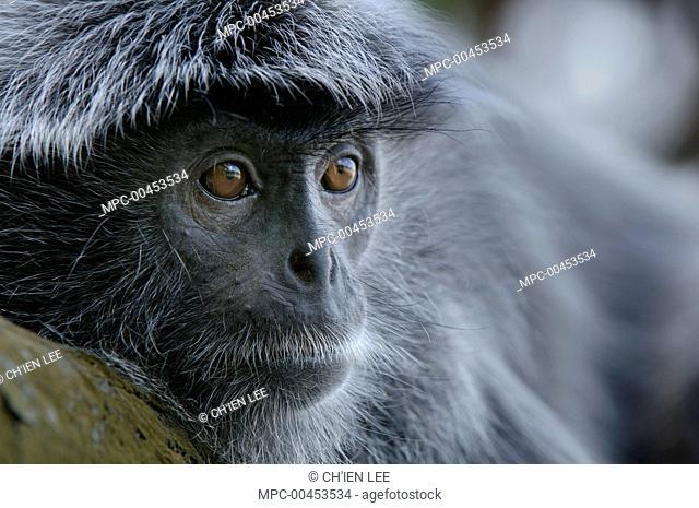 Silvered Leaf Monkey (Trachypithecus cristatus), Bako National Park, Sarawak, Borneo, Malaysia