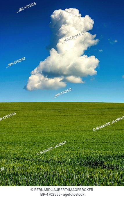 Green wheat field and a single cloud on blue sky, Puy de Dome, Auvergne Rhône Alpes, France