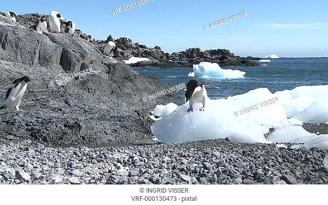 Adelie penguins Pygoscelis Adeliae jumps from ice at beach. Antarctic Peninsula