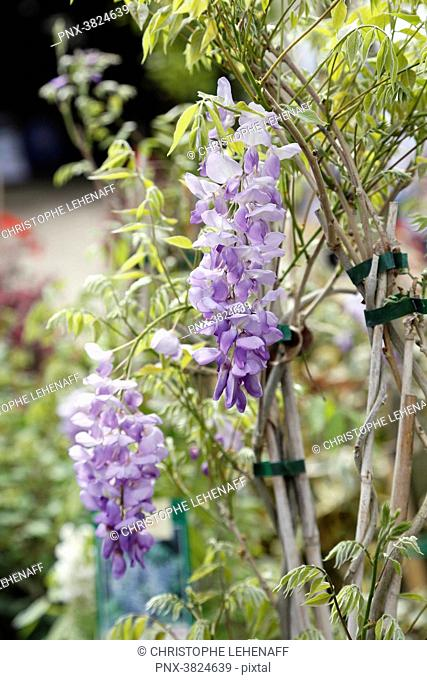 Close up of flowers wisterias sinensis