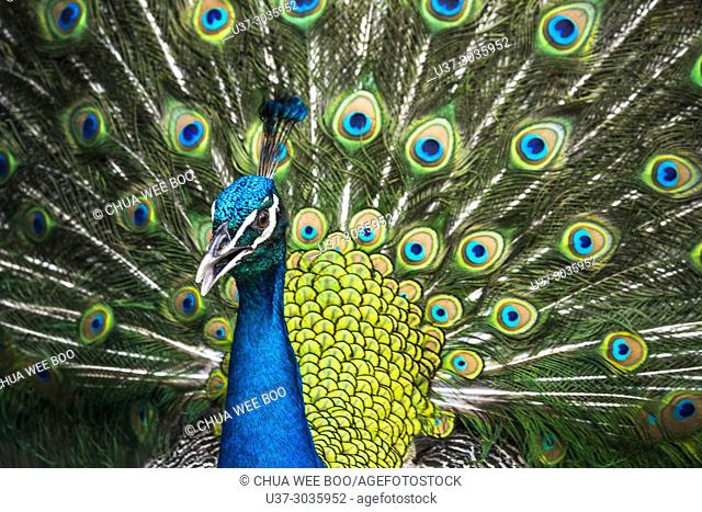 Close up of a male peacock displaying its stunning tail feathers at Jong's Crocodile Farm, Siburan, Sarawak, Malaysia