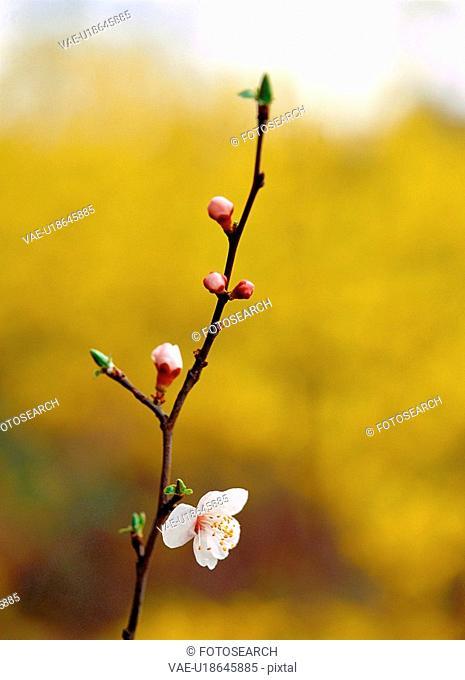 cherryblossoms, spring, flower, plant, nature, film