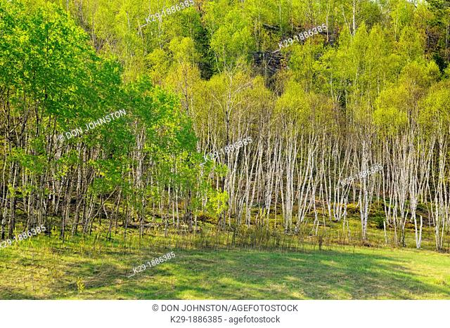 A hillside of aspen and birch with emerging spring leaves, Greater Sudbury, Ontario, Canada