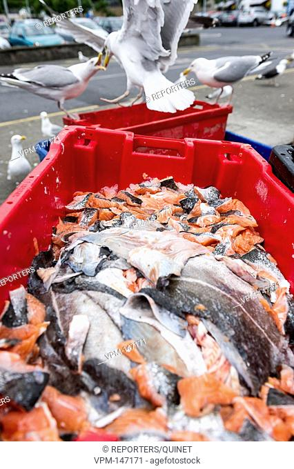 Les dechets d'une usine de transformation de poissons sont verses dans des bacs en plastique et sont destines a l'alimentationfeline ou canine