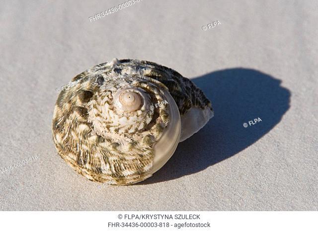 Turban Shell Turbo sp empty shell on beach, Kanidal Beach, Nuytsland Nature Reserve, Western Australia, september