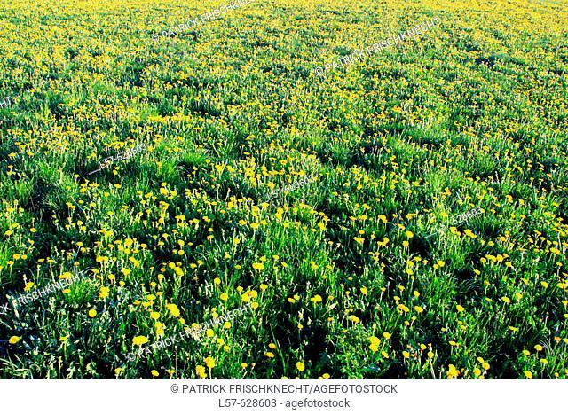 Dandylion, Taraxacum officiale, Löwenzahn field full of flowers, Oetwil am See, Zuercher Oberland,  Zuerich, Switzerland