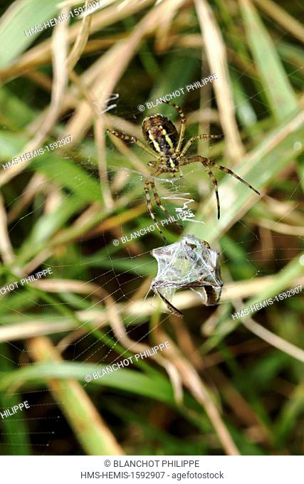 France, Araneae, Araneidae, Wasp spider (Argiope bruennichi), female swaddling its prey, a grasshopper