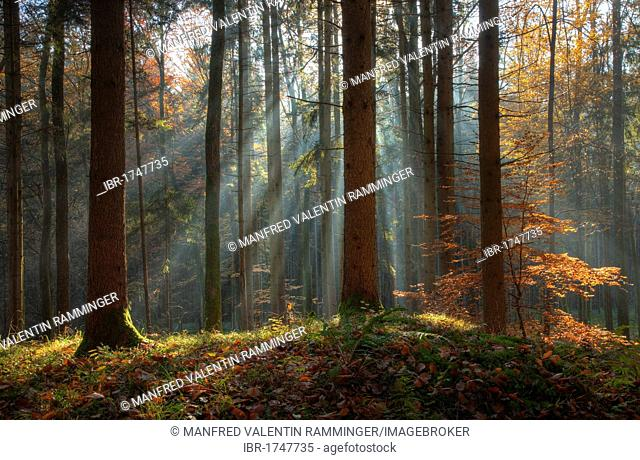 Fog in an autumn forest with sun rays, Gleisdorf, Styria, Austria, Europe