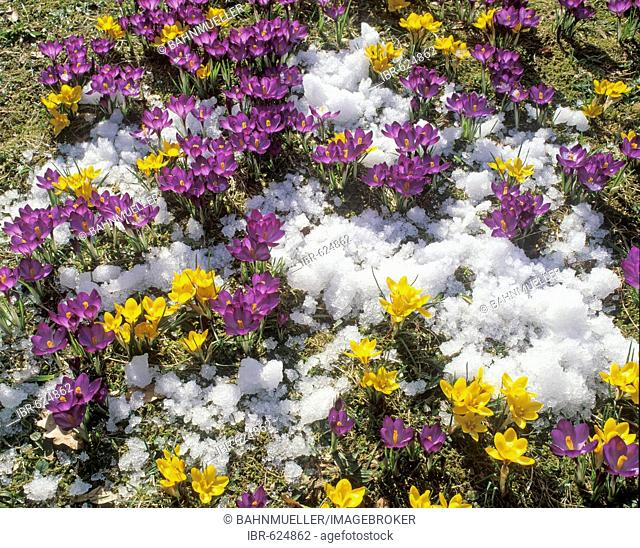 Crocus spring meadow snow
