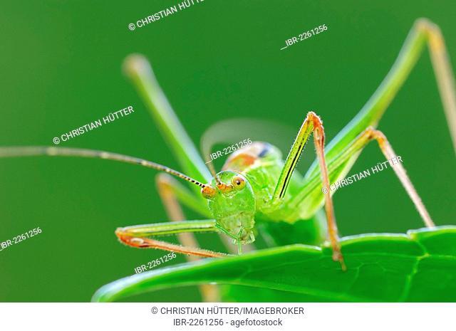 Speckled bush cricket (Leptophyes punctatissima), male, North Rhine-Westphalia, Germany, Europe