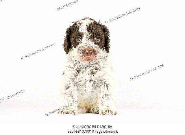Lagotto Romagnolo. Puppy (5 weeks old) sitting, seen head-on. Studio picture against a white background. Germany