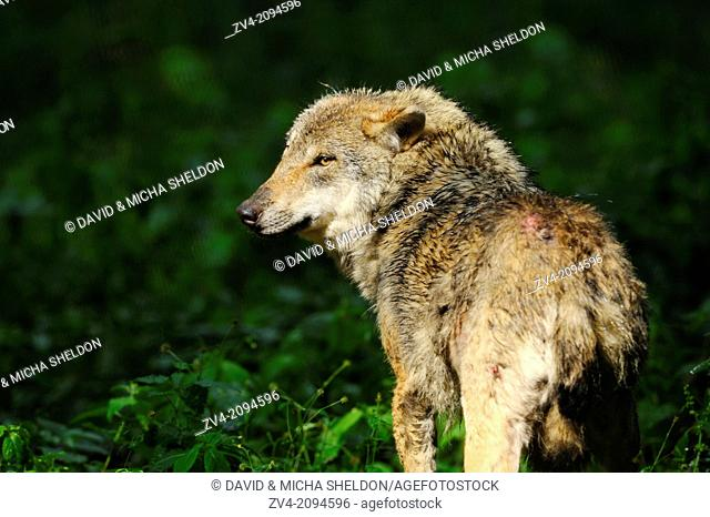 Close-up of a Eurasian wolf (Canis lupus lupus) in a forest