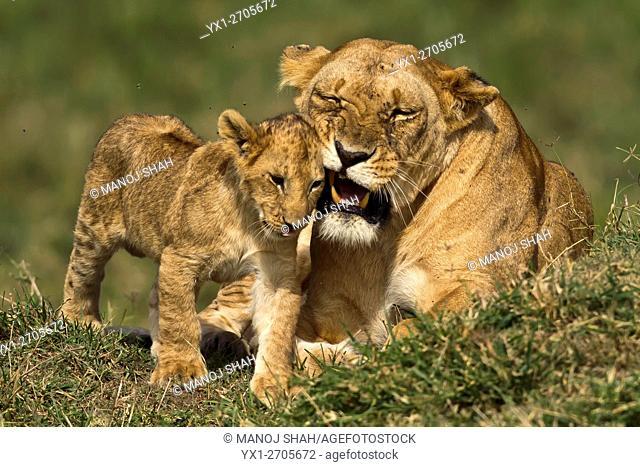 Lioness grooming cub, Masai Mara National Reserve, Kenya