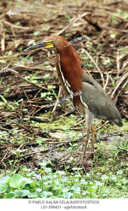 Tiger Heron (Tigrisoma lineatum). Los Llanos. Venezuela