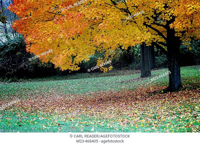 Autumn brightens a tree at a Pennsylvania park