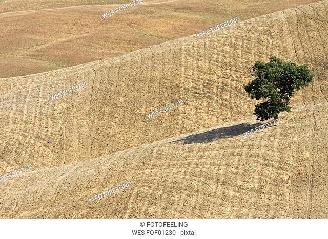 Italy, Tuscany, Harvested corn field with single tree
