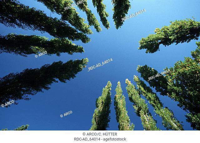Italian Cypresses Cypressus sempervirens