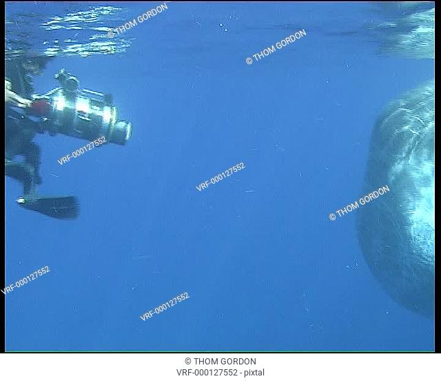 Sperm whale, camera man with adult male full frame. Gulf of Mexico