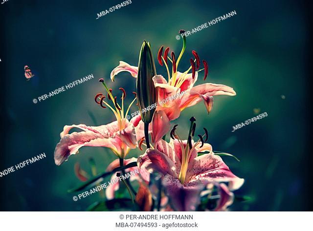 Flowers, Lilium stargazer, Philippines, Asia