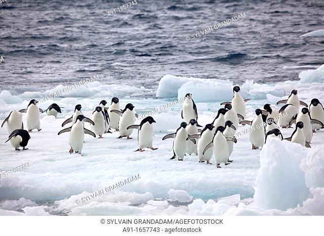 Adelie Penguin (Pygoscelis adeliae) colony on Paulet Island, Antarctica