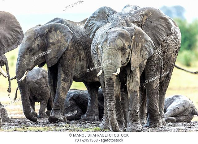 After days of dry and hot weather, it suddenly poured in Mara. The elephant herd went beserk with joy especially the youngsters who started playing in the mud