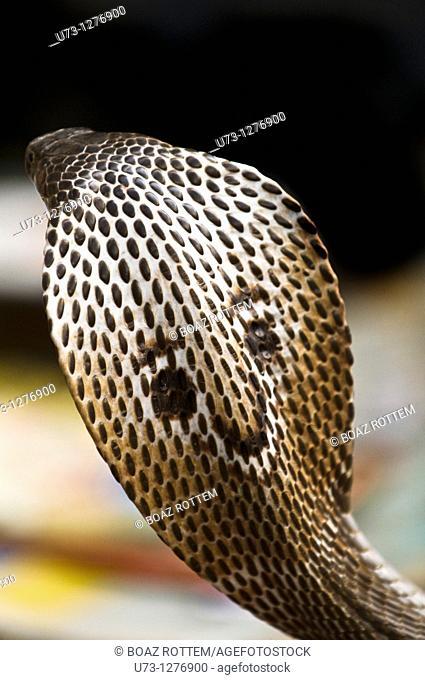 A beautiful Cobra snake