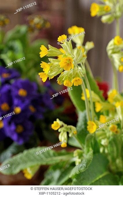 Cowslip Primula veris 'Cabrillo'