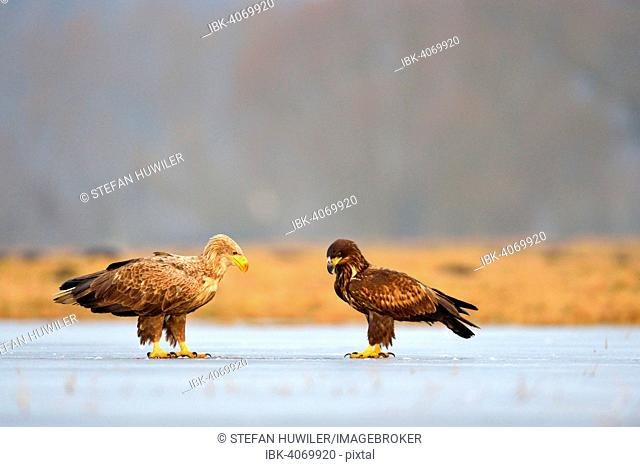White-tailed Eagles (Haliaeetus albicilla), adult with young bird, perched on ice, Lódz Province, Poland