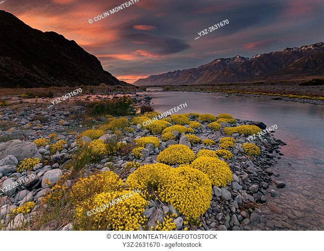 Myosotis species, ( mouse ears) cushion plant, sunset in Tasman river valley, Aoraki / Mount Cook National Park