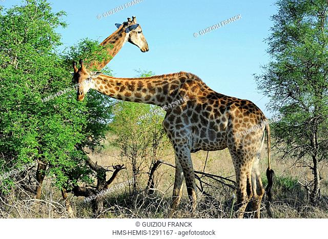 South Africa, Mpumalanga region, the South Kruger National Park, giraffe (Giraffa camelopardalis)
