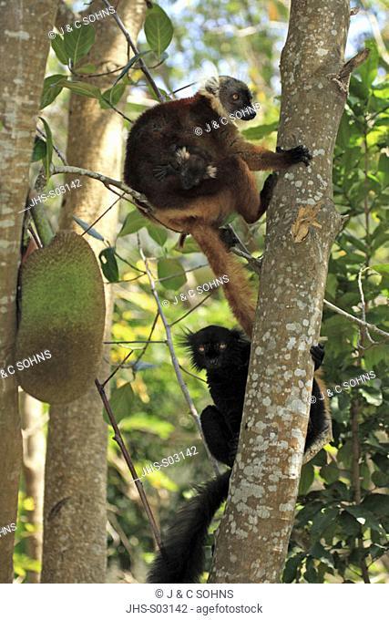 Black Lemur, Lemur macaco, Nosy Komba, Madagascar, adult couple with baby on tree
