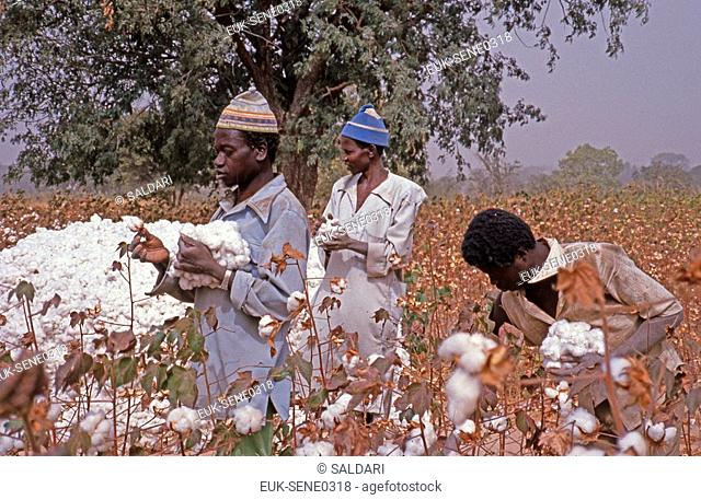 Picking Cotton,Senegal