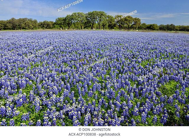 Flowering Texas bluebonnets near Lake Travis, Pace Bend LCRA, Spicewood, Travis County, Texas, USA