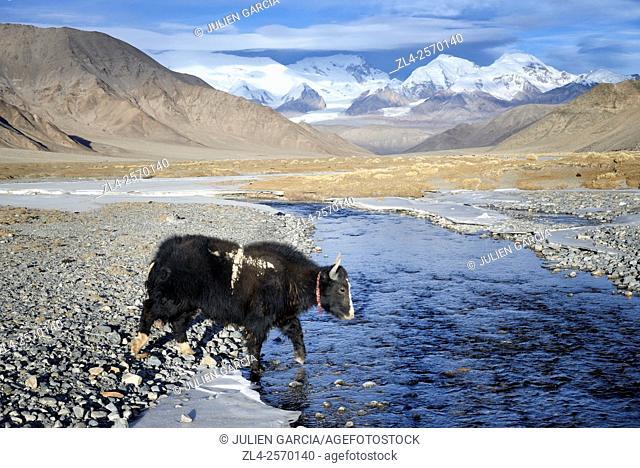 China, Xinjiang Uyghur Autonomous Region, yak near Karakul lake (3600m) in winter