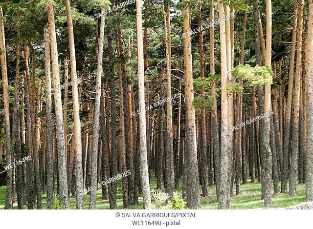 Forest of common pine in Orea, Guadalajara, Spain
