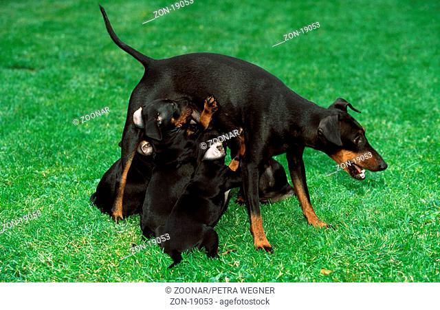 Manchester Terrier, bitch nursing puppies, 6 weeks old  /  Manchester-Terrier, Huendin saeugt Welpen, 6 Wochen alt  /  [Saeugetiere, mammals, animals, Haushund