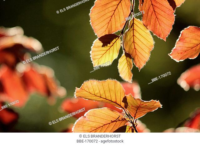Red springleaves of a red beech