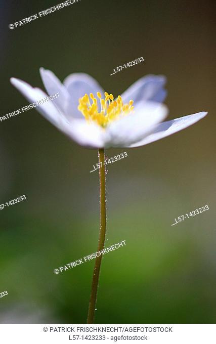 Wood anemone, Anemone nemorosa, Buschwindröschen, Switzerland