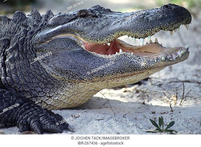 Alligator at a alligator farm, Everglades National Park, Florida, USA
