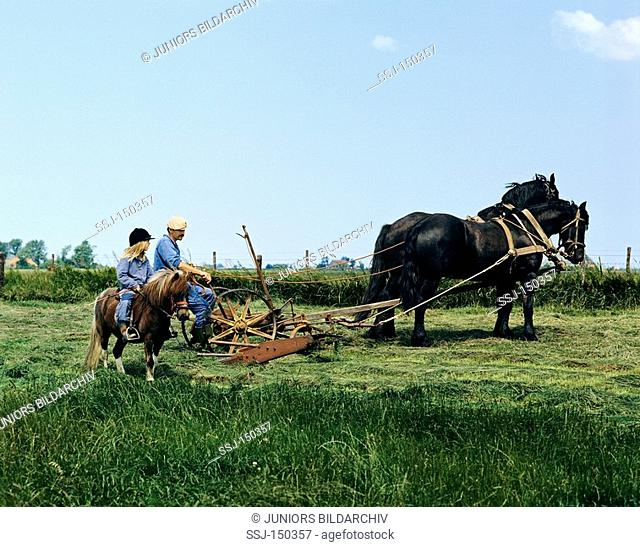 Friesian horses - fieldwork